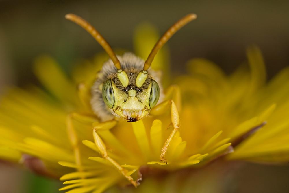 weidenbiene