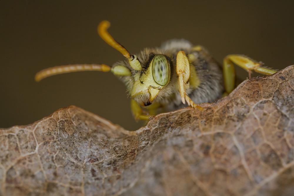 weidensandbiene
