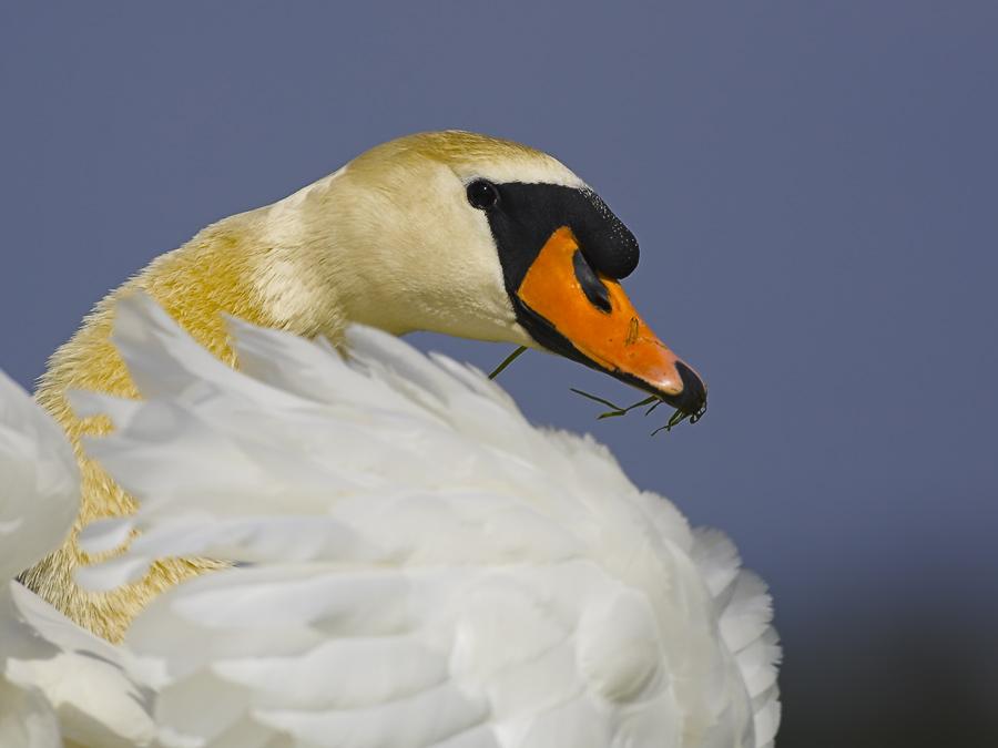 hoeckerschwan